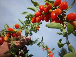גוג'י ברי - פירות הגוג'י ברי מכילים ויטמין A וגם זיאקסנטין החשוב לבריאות העיניים
